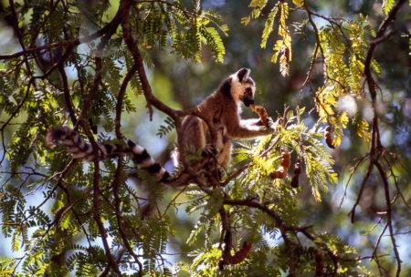 Ring-tailed Lemur (Lemur Catta) Feeding On Fruit Of Tamarind Tree, Berenty, Madagascar