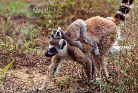 Ring-tailed Lemur (Lemur Catta) Female With Baby, Berenty, Southern Madagascar