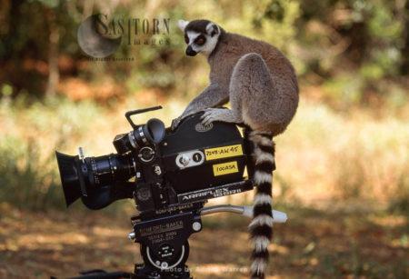 Ring-tailed Lemur (Lemur Catta) On Camera, Berenty, Southern Madagascar