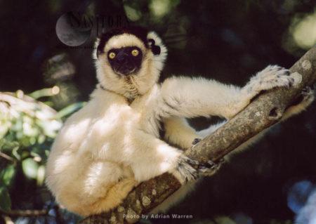Verreaux's Sifaka (Propithecus Verreauxi), Resting On Tree, Berenty, Southern Madagascar