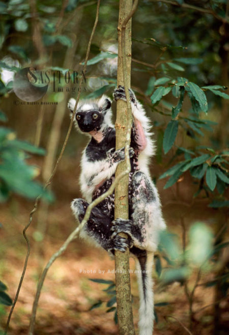 Verreaux's Sifaka (Propithecus Verreauxi), An Old Sifaka With Little Hair Left, Berenty, Madagascar
