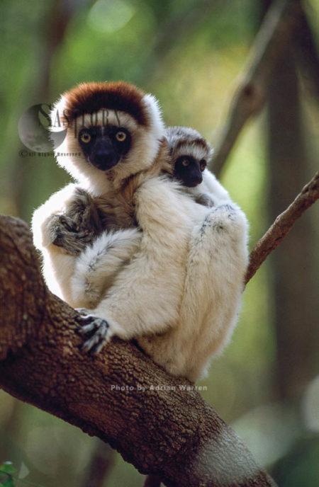 Verreaux's Sifakas (Propithecus Verreauxi), Female With Baby Resting On Tree. Berenty, Southern Madagascar