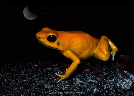 Yellow-dart Poison FROG (Phyllobates Terribilis), Southern Colombia, 1994