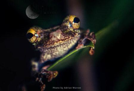 Tree Frog, Echerak River, Guyana