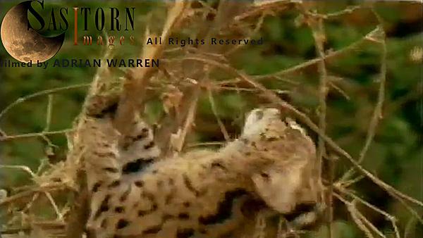Serval sample