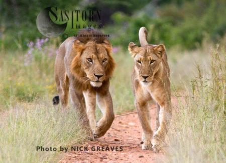 River Pride Mating Pair (Panthera Leo), Ruaha National Park, Tanzania