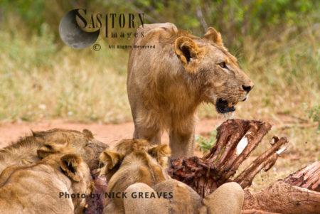 LIONS ON HIPPO CARCASS (Panthera Leo), Ruaha National Park, Tanzania