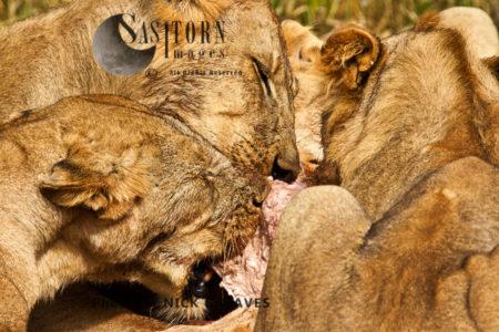 Lion Feeding Frenzy (Panthera Leo), Ruaha National Park, Tanzania, Katavi National Park, Tanzania