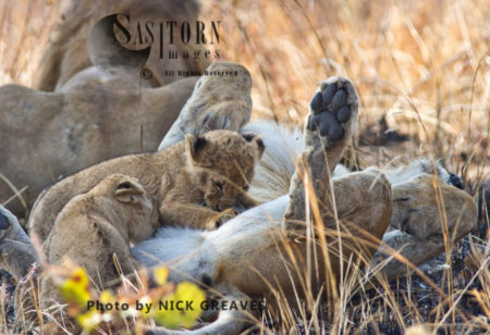 Lioness Suckling Young Cubs (Panthera Leo), Katavi National Park, Tanzania