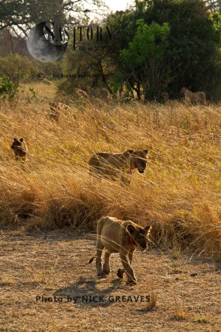Lion Pride (Panthera Leo), Katavi National Park, Tanzania