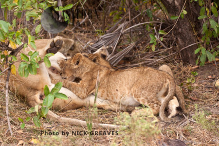 Cubs Suckle From Their Mother (Panthera Leo), Lake Tagalala, Selous Game Reserve, Tanzania