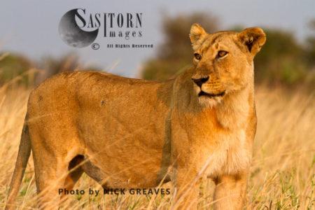 Katuma Pride Lioness (Panthera Leo), Katavi National Park, Tanzania