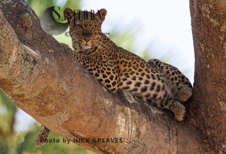 Female Leopard Relaxing (Panthera Pardus), Katavi National Park, Tanzania
