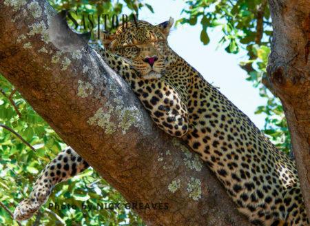 Dozing Leopard (Panthera Pardus), Katavi National Park, Tanzania