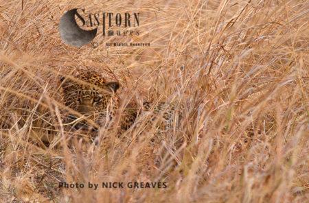 Leopard In The Long Grass (Panthera Pardus), Katavi National Park, Tanzania