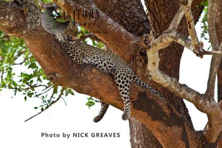 A Female Leopard Resting (Panthera Pardus)
