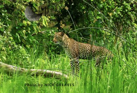 Leopard In Grasslands (Panthera Pardus)