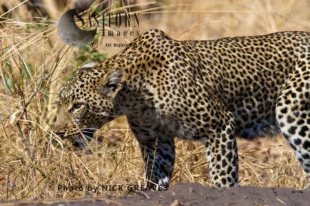 Leopard On The Prowl (Panthera Pardus), Katavi National Park, Tanzania