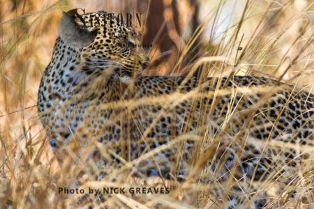 Leopard Concealment (Panthera Pardus), Katavi National Park, Tanzania