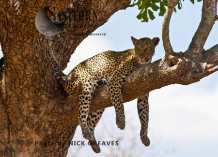 A Female Leopard Relaxes (Panthera Pardus), Katavi National Park, Tanzania