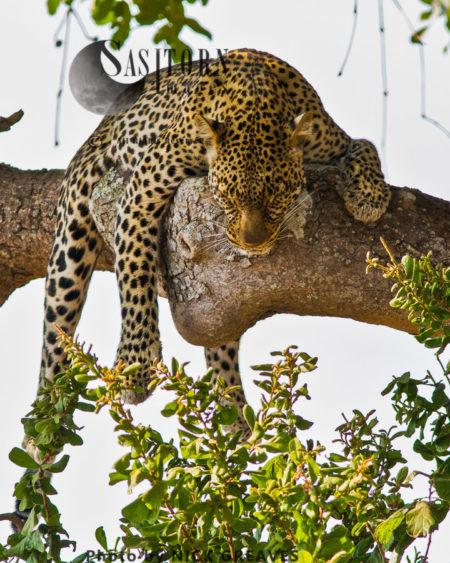 Lazy Leopard (Panthera Pardus)