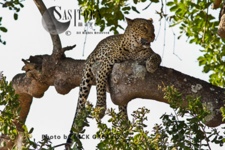 Leopard In Kigelia (Panthera Pardus), Katavi National Park, Tanzania