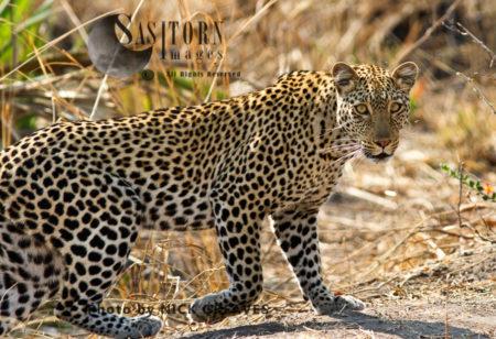 Alert Leopard (Panthera Pardus), Katavi National Park, Tanzania
