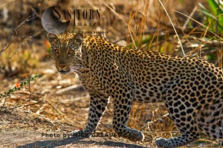 Female Leopard (Panthera Pardus), Katavi National Park, Tanzania