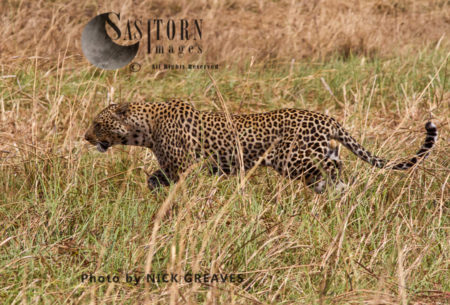 Leopard Male (Panthera Pardus), Katavi National Park, Tanzania
