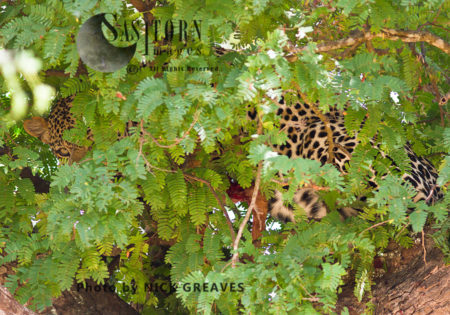 Camouflaged Leopard (Panthera Pardus), Mikumi National Park, Tanzania