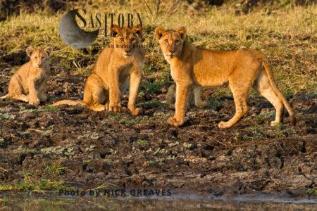 Lion Cubs (Panthera Leo), Katavi National Park, Tanzania