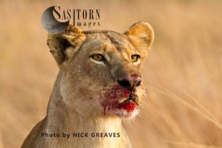 Bloody Lioness (Panthera Leo), Katavi National Park, Tanzania