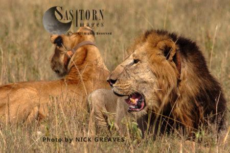 Lions (Panthera Leo), Queen Elizabeth National Park, Uganda