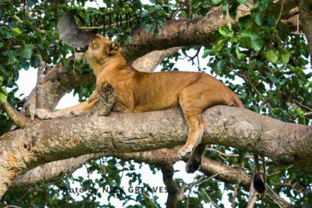 Lioness Resting On Tree (Panthera Leo), Ishasha Sector, Queen Elizabeth National Park, Uganda