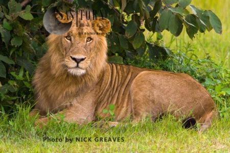 Young Male Lion (Panthera Leo), Katavi National Park, Tanzania
