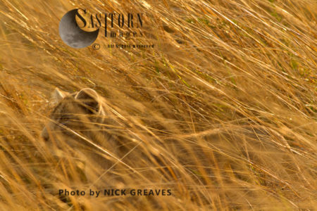 Cub In The Grass (Panthera Leo), Katavi National Park, Tanzania