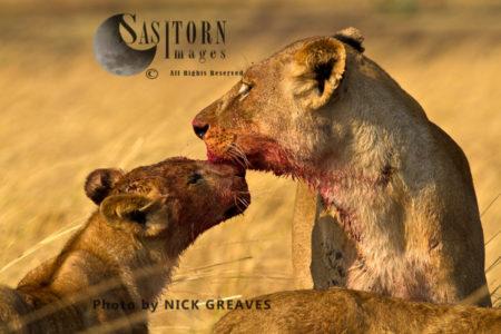 Lioness And Cub (Panthera Leo)