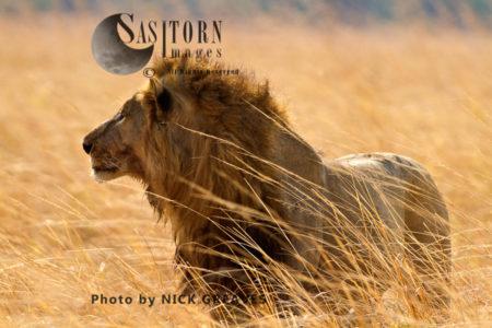 (Panthera Leo), Katavi National Park, Tanzania