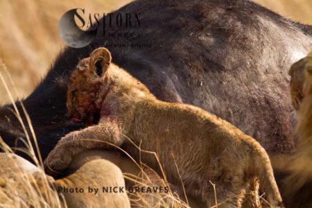 Cub On Kill (Panthera Leo), Katavi National Park, Tanzania
