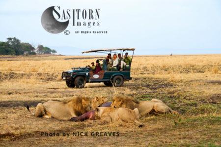 Game Viewing (Panthera Leo), Katavi National Park, Tanzania