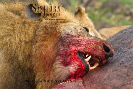 Lion Eating (Panthera Leo), Katavi National Park, Tanzania