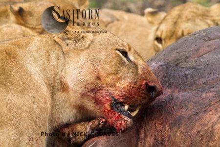 Lioness Cutting Through Hippo Hide (Panthera Leo), Katavi National Park, Tanzania