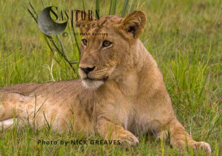 Alert Lioness (Panthera Leo), Katavi National Park, Tanzania