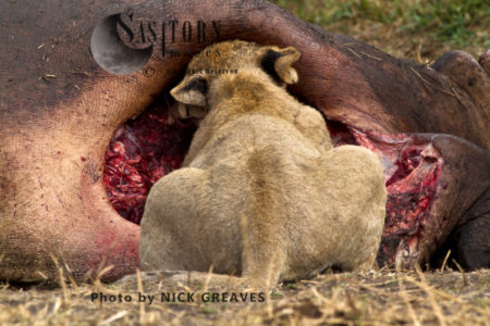 Lion Cub Tucking In! (Panthera Leo), Katavi National Park, Tanzania