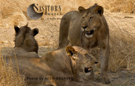 Chada Pride Young Males (Panthera Leo), Katavi National Park, Tanzania