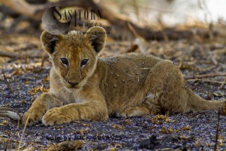Chada Pride Cub (Panthera Leo), Katavi National Park, Tanzania