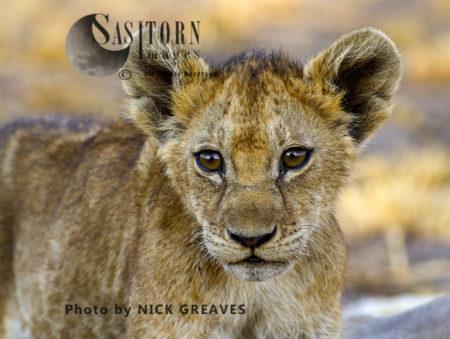 Chada Cub Portrait (Panthera Leo), Katavi National Park, Tanzania