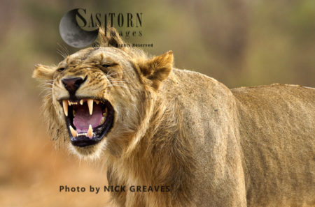 Flehmen Grimace (Panthera Leo)
