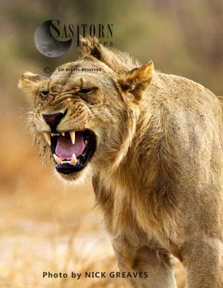 Flehmen Grimace (Panthera Leo), Katavi National Park, Tanzania