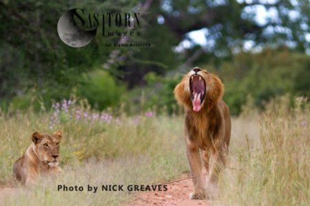 Lion Makes An Exaggerated Yawn  (Panthera Leo), Ruaha National Park, Tanzania